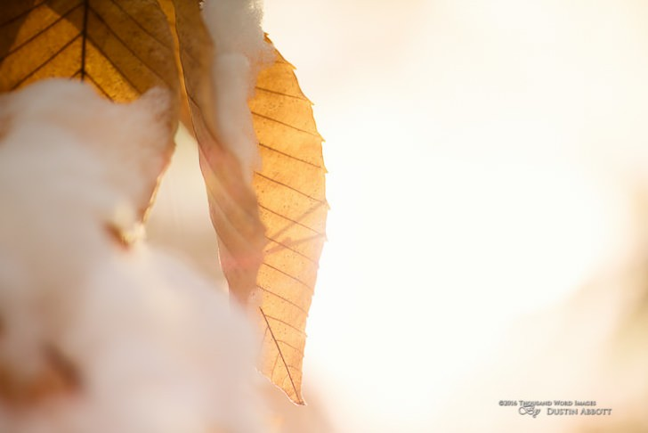 "© 2016 Thousand Word Images by Dustin Abbott The temperature was hovering at around 10F/-16C when I shot this image. It looks warm (and the light was), but the out of focus blur in the foreground is fresh snow. I shot this in late afternoon, so the sun was low and directional. The light removed all distractions from the background and made for a simple yet pure image of these beech leaves. I love warm looking images in the middle of winter! Technical Information: Canon EOS M3, Rokinon 50mm f/1.2 AS UMC, Processed in Adobe Lightroom CC, Photoshop CC, and Alien Skin Exposure X (use code ""dustinabbott"" to get 10% off) Want to know more about me or make contact? Take a look at my website and find a lot of ways to connect and view my work."