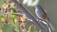 White-crowned sparrow_37078.JPG