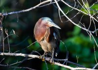 Big_Cypress_National_Preserve_-_Green_Heron-6.jpg