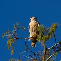 Big_Cypress_National_Preserve_-_Red_Shouldered_Hawk-18.jpg