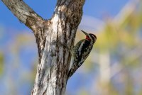 Big_Cypress_National_Preserve_-_Red-Naped_Sapsucker-22.jpg