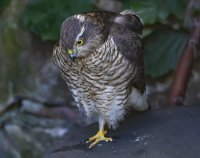 Sparrowhawk.female...jpg