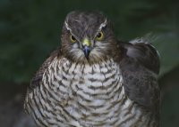 Sparrowhawk.Female....jpg