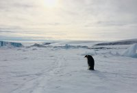 Emperor Penguin returns from the sea and heads to the trail to the colony with food for its ch...jpg