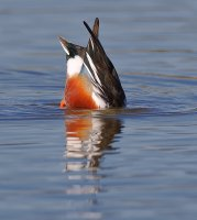 web Northern Shoveler__A9I4878.JPG