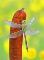 _MG_9710 web green darner.JPG