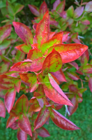 08-Macro Blueberry Bush Turning Red.png