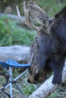 Friendly moose_s_9416.JPG