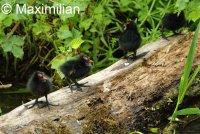 moorhen_chicks_2.JPG