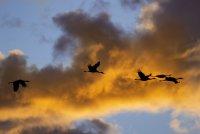 Birds_Cranes_Indiana-AI9I9204-1.jpg