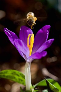 Crocus and Bee.jpg
