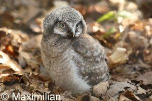 hawk_owl_2.JPG