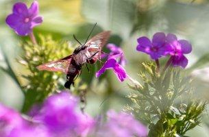 HB Moth-.jpg