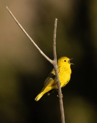 Yellow warbler perched v twig 3000 sm.jpg