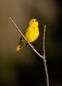 Yellow warbler perched v twig II 3000 sm.jpg