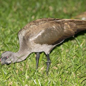 the early Ibis catch the worm