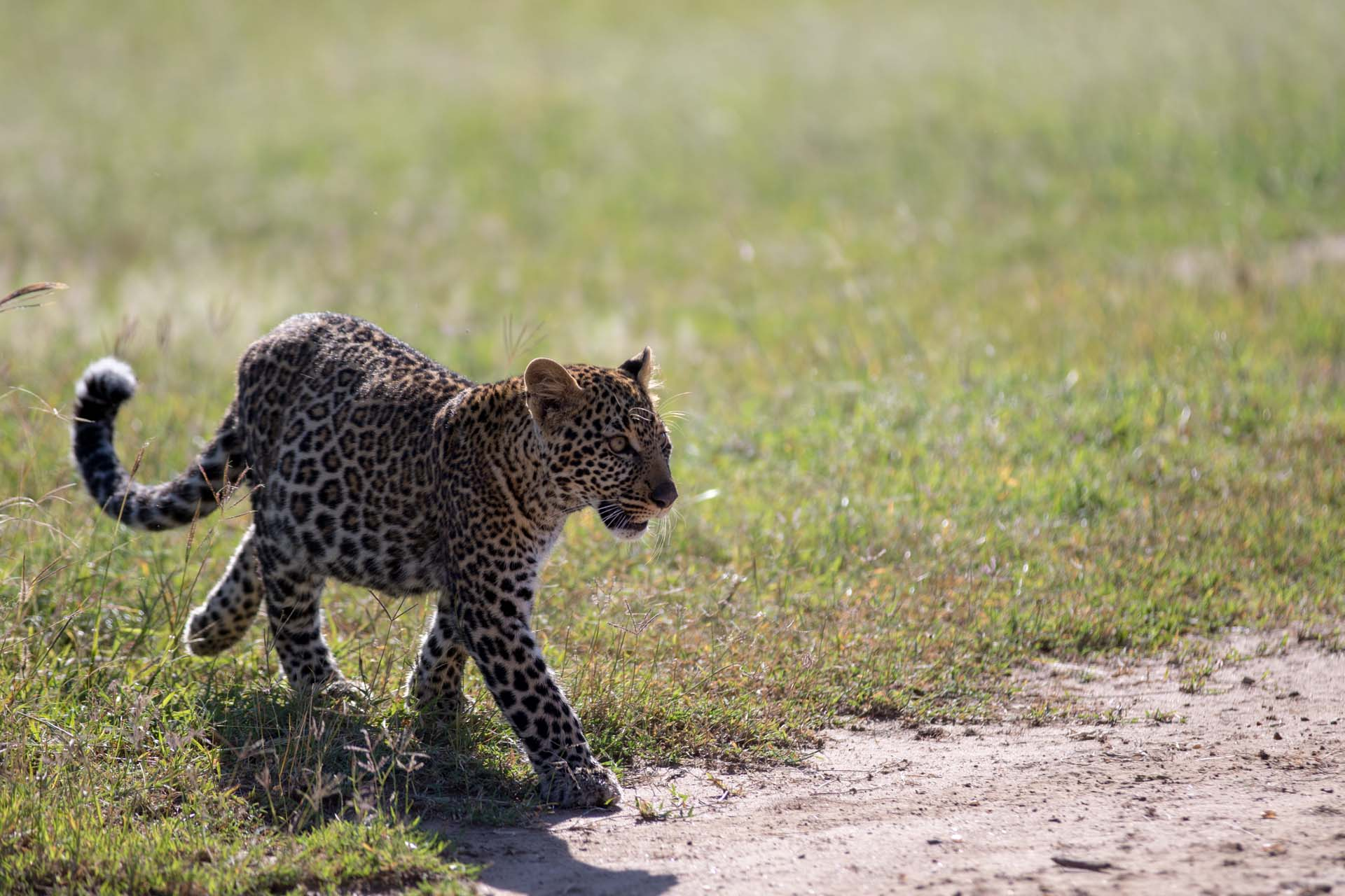 Leopard youngster