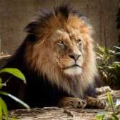 Lion Crop 168x168 - Review - Canon EF 70-300mm f/4-5.6L IS